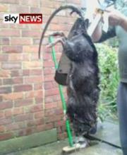Sky News - Giant Rat